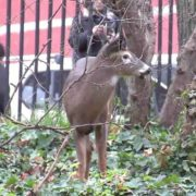 Harlem deer has died