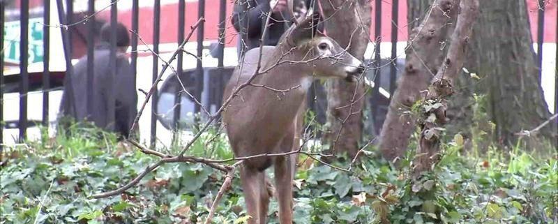 Harlem deer has died