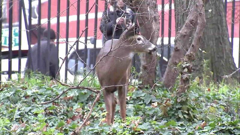 rare white tailed deer in nyc park will not be euthanized