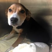 Puppy injured by car, shelter searches for owner