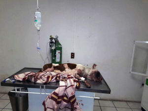 "Pic shows: The injured dog.nnThis tragic video shows the in vain attempt to save the life of a pitbull puppy who had a firework shot into her eye by teenagers and who was then run over by a car when she tried to run away in pain and terror.nnThe video shows the dog being carried on a blanket and placed into a car with horrific head injuries caused by the firework as well as massive internal injuries caused by the car from which she later died.nnIt was shot in the colony of Salvador Portillo Lopez, in the city of Tlaquepaque, in the western Mexican state of Jalisco.nnAnimal organization Croqueton GDL members with those that rescue the animal after getting an alert from members of the public about what had happened, and together they took it on the blanket to the vets surgery.nnThe organization published the information about the health state of the injured dog and even shared the moment it was transferred inside a car with the bloody eye after the firework attack.nnA spokesman said: """"Unfortunately, the dog did not manage to fight of her injuries and went into shock resulting from a massive internal haemorrhage.nn""For those who have just seen these images, this dog was victim of abuse by a group of teenagers who shot a firework into its eye. Terrified, it ran off in a blind panic and was run over.""nnThey said that locals had maintained a wall of silence about who was to blame, and had refused even to officially report it although one person had called them to warn them the dog was in need of help.nnNetizen ""Elizabeth Zuniga"" wrote: ""Then parents wonder why their kids are murderers and are in jail! If since they are kids they are not taught to respect and take care of animals. So helpless and that cannot defend by their own! But God will do justice with these kind of kids that only caused bad, they are the future criminals of this country, if they do not stop with a small animal, if they do not feel guilty, they will not feel badly in future.""nn""Va"
