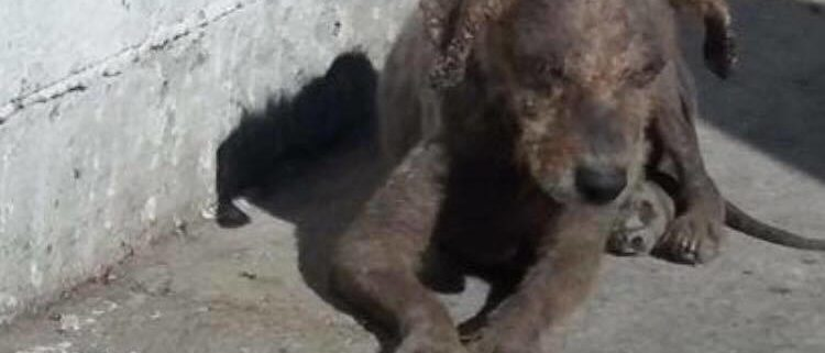 Young dog rescued from streets of Tijuana by California rescue group