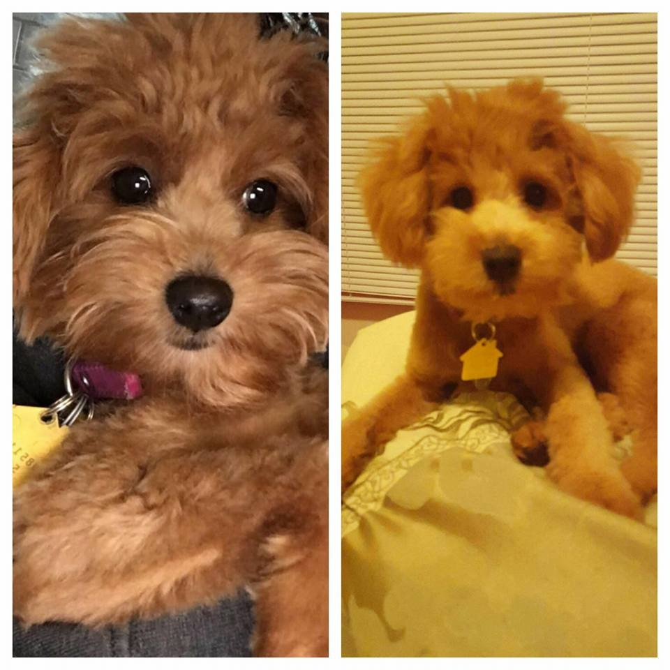 Pups stolen by pet sitter