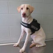 Stray dog wearing service vest found