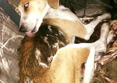Dog shot during field trial
