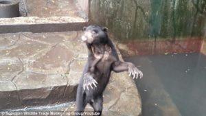 Starving bears