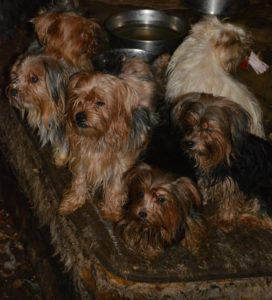 Yorkie rescue SD3