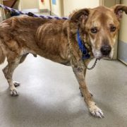 Skin and bones dog was left chained in the cold
