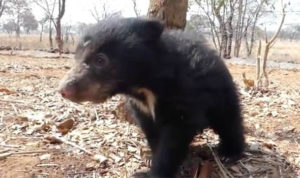 Baby bear clings to dead mother