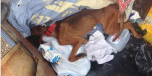 Starved dog thrown into dumpster