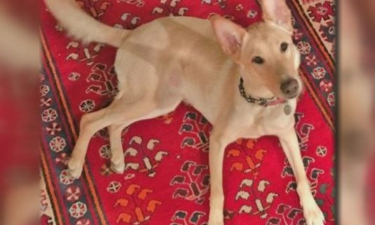 Dog who disappeared after accident has been found
