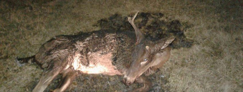 Someone set an injured deer on fire