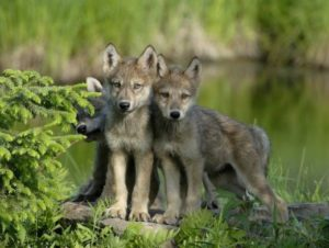 wolf pups takepart