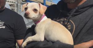 Chihuahua's hero 2