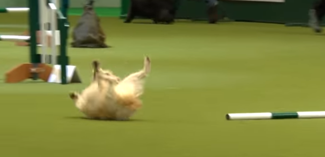 Joyful dog takes a tumble during agility run