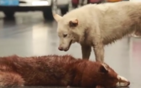 Heartbreaking video, dog refuses to leave dead friend's side