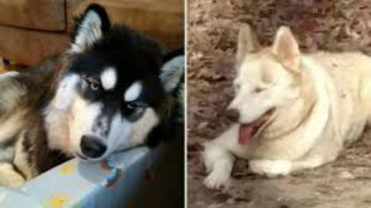 Woman Shot And Burned Neighbor S Two Siberian Huskies For