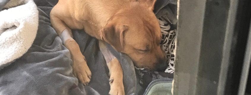 Dog nearly died after drugs thrown into yard