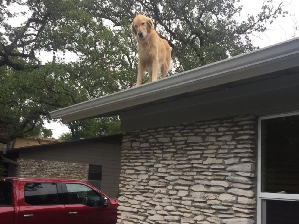 Owners Don T Be Alarmed About Dog On The Roof Pet