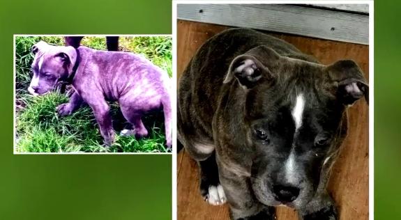 Service puppy in training stolen from man's yard
