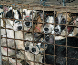 Dog meat banned at Yulin festival