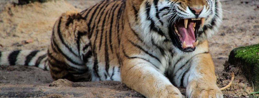 Tiger kills zoo employee