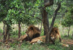Two lions killed at sanctuary