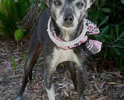 Senior dog brought to shelter in a shopping bag
