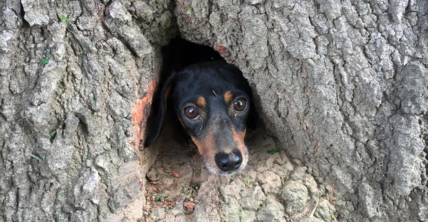 Dog stuck in a tree trunk