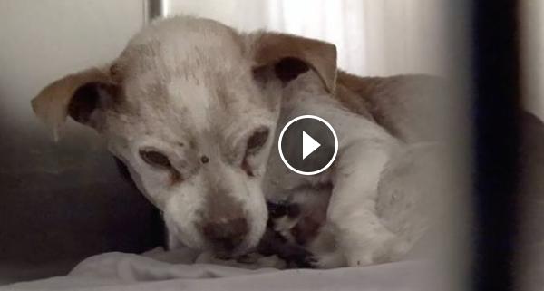 Elderly dog cries in pain