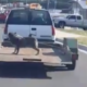 Dog on a trailer