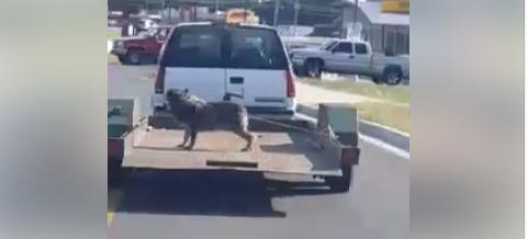 Dog on a trailer