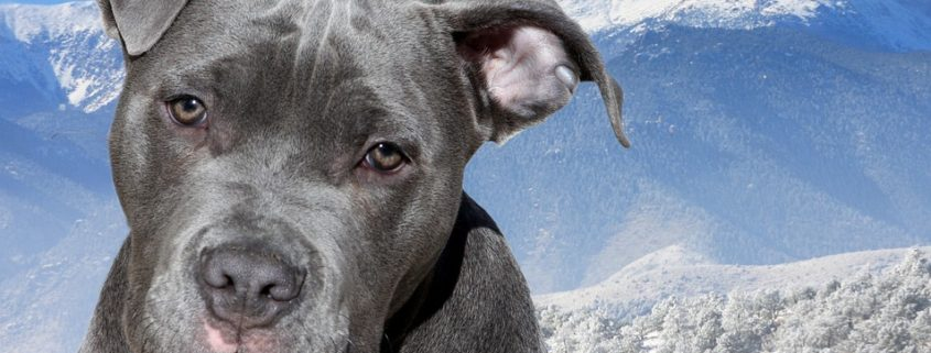 Pit bull saves family from violent home intruders