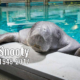Snooty the manatee has died