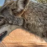 Golfers give thirsty coyote a drink