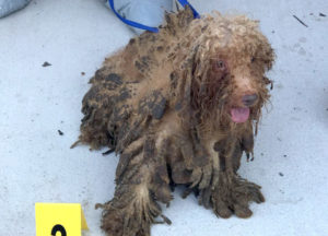 Dozens of poodles rescued from hoarding situation in West