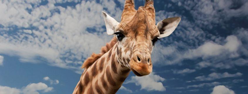 A giraffe died at a zoo