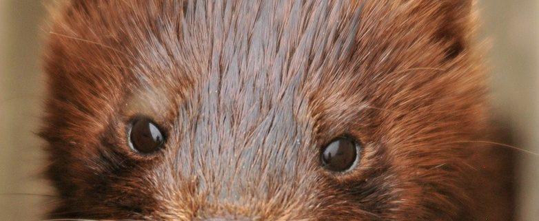Minks at fur farm were released
