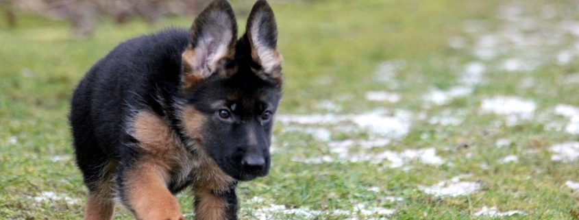 A family's German shepherd puppy was found hanging from their deck