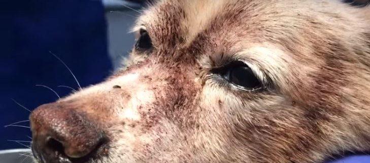 Flea infestation nearly killed Rascal