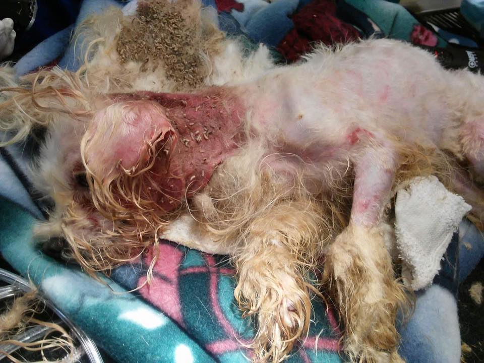 Maggots In Dog S Fur