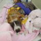 Bait dog recovers