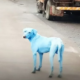 Dogs are turning blue