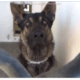 German shepherd surrendered when his family moved