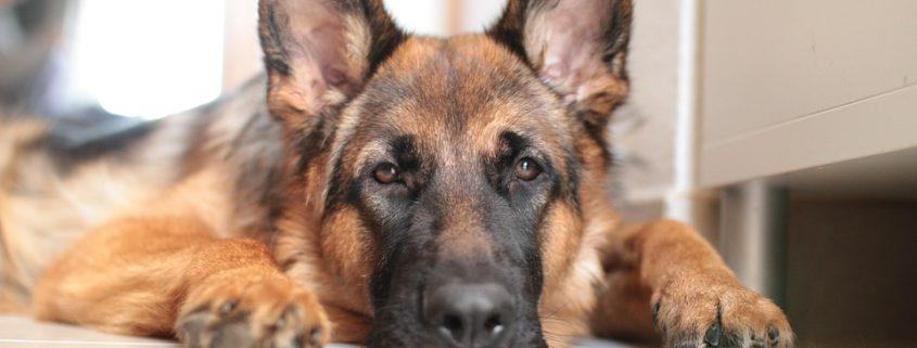 German shepherd euthanized