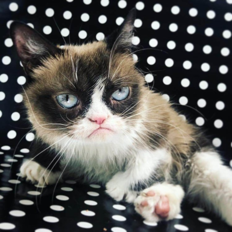 Grumpy Cat - the internet meme who made us smile died ...
