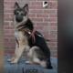 Stolen guide dog, Lucca