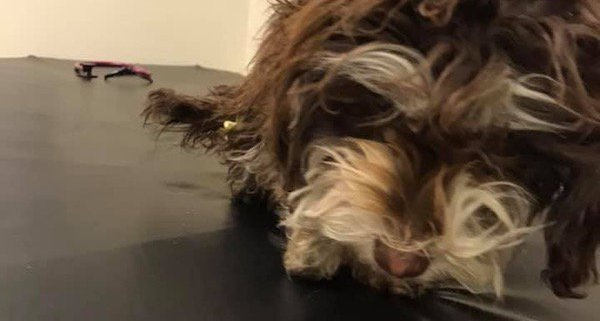 Havanese puppy who survived 2 weeks in frigid cold reunited