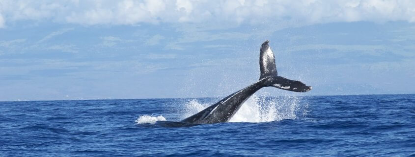Japan plans to resume commercial whaling