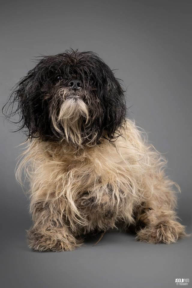 Neglected and filthy Havanese dogs rescued from hoarding
